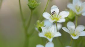 Witte kleine bloemen en mier Macro van een mier De lentebloemen van Steenbreek stock video