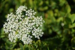 Witte kleine bloemen op groene achtergrond Stock Afbeeldingen