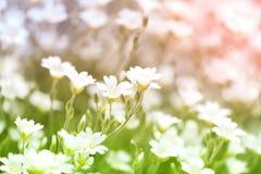 Witte kleine bloemen op het gebied Mooie bloemen met kleurrijke achtergrond Stock Afbeeldingen