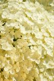 Witte kleine bloesemsclose-up Royalty-vrije Stock Afbeeldingen