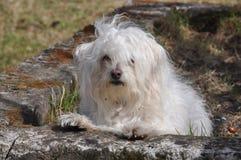 Witte kleine hond royalty-vrije stock fotografie