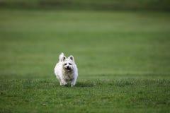 Witte kleine hond die een stok halen Stock Afbeeldingen