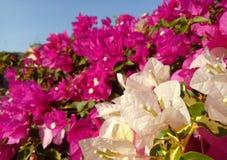 Witte Kleurenbloemblaadjes in Tuin Royalty-vrije Stock Foto's