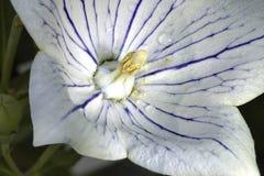 Witte klokbloem Royalty-vrije Stock Foto's