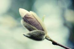 Witte knop van magnoliaboom Stock Afbeeldingen
