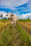 Witte koe Stock Foto's