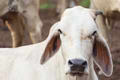 Witte koe Stock Afbeelding