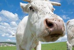 Witte koe stock fotografie