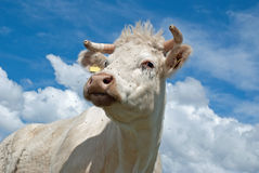 Witte koe royalty-vrije stock afbeeldingen