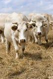 Witte koeien Stock Afbeeldingen