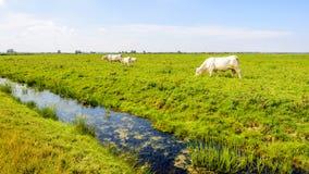 Witte koeien die in een Nederlands natuurreservaat weiden Stock Fotografie