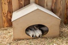Witte Konijnenslaap in een doos Stock Afbeelding