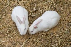 Witte konijntjes Stock Afbeelding