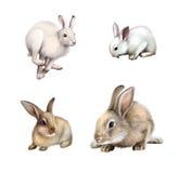 Witte Konijnzitting, Witte hazen die weglopen. Grijs konijn. Geïsoleerd op witte achtergrond.