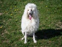 Witte Koninklijke poedelhond die op het groene gras liggen Stock Fotografie