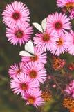 Witte koolwitjes op purpere bloemenachtergronden Royalty-vrije Stock Afbeeldingen