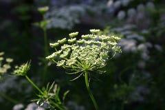 Witte korianderbloemen Stock Afbeeldingen