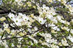 Witte Kornoeljeboom of Cornus Florida stock afbeeldingen