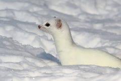 Witte kort-de steel verwijderde van wezel in sneeuw stock foto