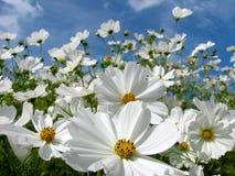 Witte Kosmos Stock Foto's