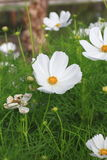 Witte kosmosbloemen royalty-vrije stock foto