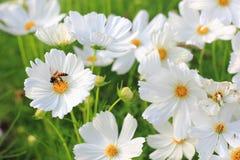 Witte kosmosbloemen Royalty-vrije Stock Foto's