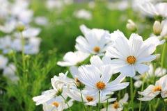 Witte kosmosbloemen Stock Fotografie