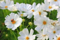 Witte kosmosbloemen Stock Foto
