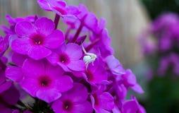 Witte krabspin Royalty-vrije Stock Afbeelding