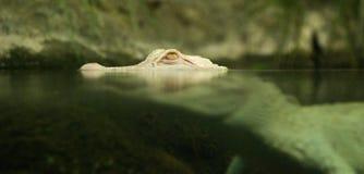 Witte Krokodil royalty-vrije stock foto