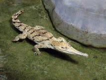 Witte krokodil. Stock Foto