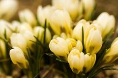 Witte krokus royalty-vrije stock fotografie