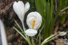 Witte Krokus Stock Foto