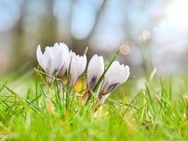 Witte krokus, bloeiende installaties in de irisfamilie een bos van krokussen, weidehoogtepunt van krokussen, close-up Stock Afbeelding