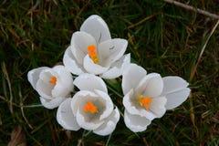 Witte krokussen in het gras royalty-vrije stock foto