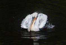 Witte kwestie die van de majestueuze vogel de Dalmatische Pelikaan op dar drijven Royalty-vrije Stock Afbeeldingen