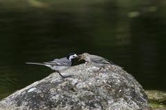 Witte kwikstaart (alba die Motacilla) zijn jongelui voeden Stock Foto