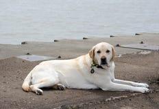 Witte laboratoriumhond die op een dok leggen royalty-vrije stock afbeelding