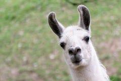 Witte lama Stock Fotografie