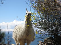 Witte Lama omhoog Hoog op een Eiland Royalty-vrije Stock Fotografie