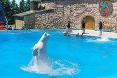 Witte lat Delphinapterusleucas, bottlenose dolfijnen lat Tursiopstruncatus die over het water in Adler springen te tonen Stock Afbeeldingen