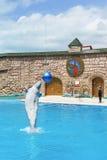 Witte lat Delphinapterusleucas is een getande walvis van de familie naranovich - springend over het water in Adler D te tonen Stock Foto