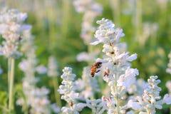 Witte Lavendel Stock Afbeeldingen