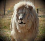Witte Leeuw Stock Foto