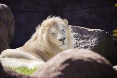 Witte Leeuw Royalty-vrije Stock Afbeelding