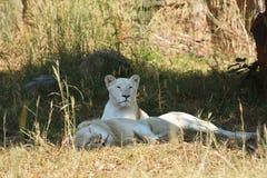 Witte Leeuw Royalty-vrije Stock Afbeeldingen