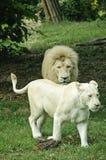 Witte leeuw en leeuwin Stock Foto