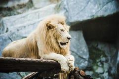 Witte leeuw in gevangenschap royalty-vrije stock foto's