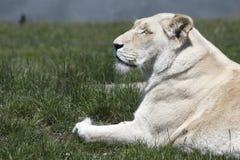 Witte Leeuwin Stock Afbeelding
