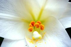 Witte Lelie royalty-vrije stock afbeelding
